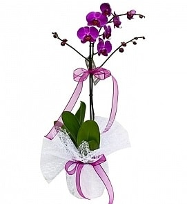 Tek dallı saksıda ithal mor orkide çiçeği  Aydın çiçekçiler