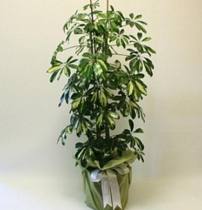 Şeflera salon bitkisi  Aydın çiçek gönderme