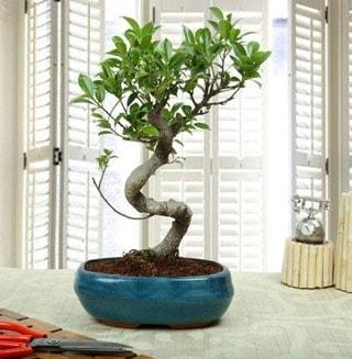 Amazing Bonsai Ficus S İthal  Aydın internetten çiçek siparişi