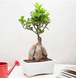 Exotic Ficus Bonsai ginseng  Aydın çiçek servisi , çiçekçi adresleri