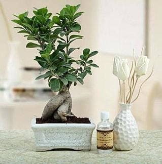 Ginseng ficus bonsai  Aydın çiçekçiler