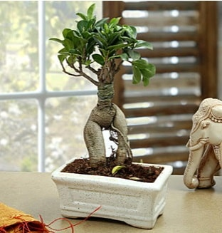 Marvellous Bonsai ginseng  Aydın çiçek siparişi sitesi