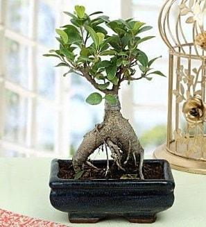 Appealing Ficus Ginseng Bonsai  Aydın anneler günü çiçek yolla