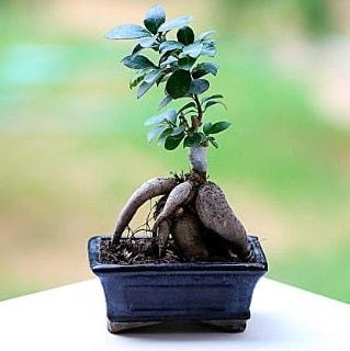 Marvellous Ficus Microcarpa ginseng bonsai  Aydın çiçek siparişi vermek