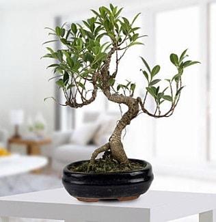 Gorgeous Ficus S shaped japon bonsai  Aydın yurtiçi ve yurtdışı çiçek siparişi