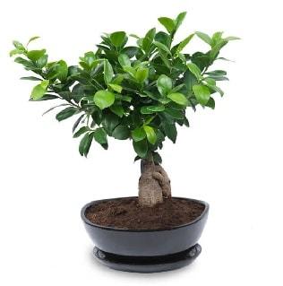 Ginseng bonsai ağacı özel ithal ürün  Aydın internetten çiçek satışı