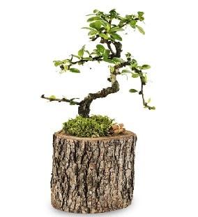 Doğal kütükte S bonsai ağacı  Aydın çiçek satışı