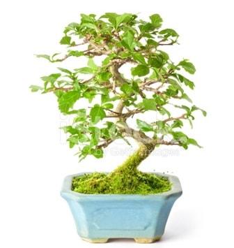 S zerkova bonsai kısa süreliğine  Aydın İnternetten çiçek siparişi