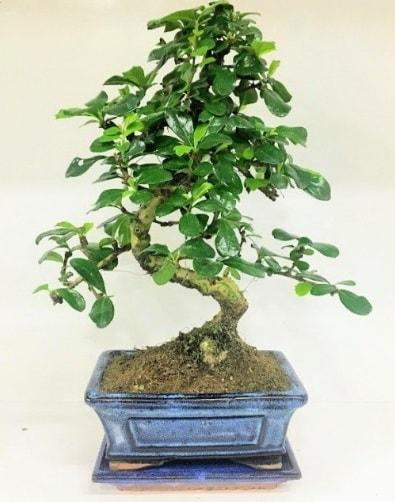 S Bonsai japon ağacı bitkisi  Aydın uluslararası çiçek gönderme