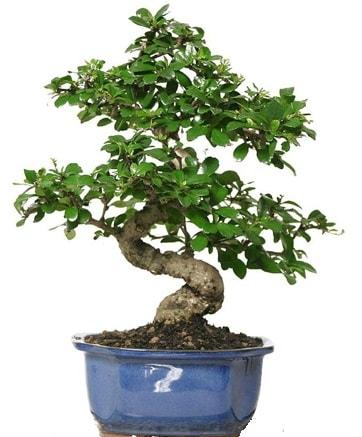 21 ile 25 cm arası özel S bonsai japon ağacı  Aydın çiçekçi telefonları