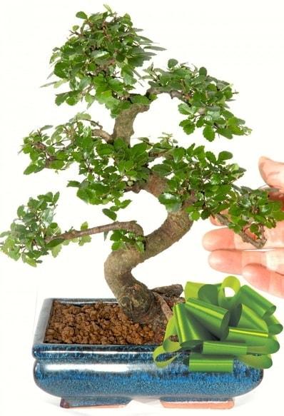 Yaklaşık 25 cm boyutlarında S bonsai  Aydın çiçek siparişi sitesi