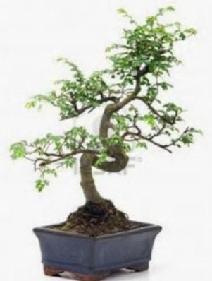 S gövde bonsai minyatür ağaç japon ağacı  Aydın çiçek satışı