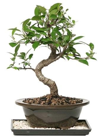 Altın kalite Ficus S bonsai  Aydın çiçekçi telefonları  Süper Kalite