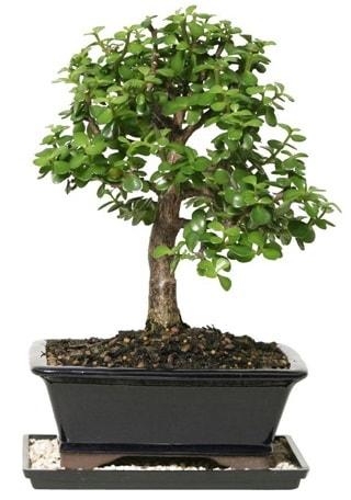 15 cm civarı Zerkova bonsai bitkisi  Aydın çiçek siparişi sitesi