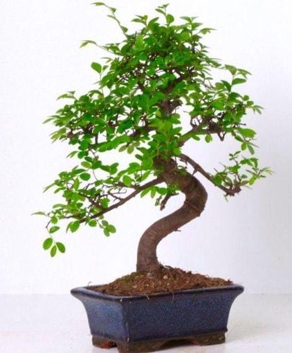 S gövdeli bonsai minyatür ağaç japon ağacı  Aydın çiçek gönderme sitemiz güvenlidir