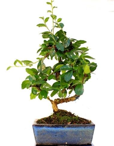S gövdeli carmina bonsai ağacı  Aydın çiçek yolla  Minyatür ağaç