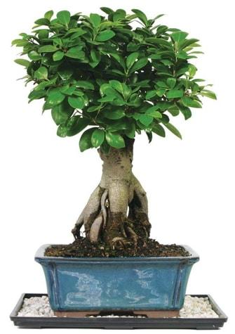 Bonsai Ginsing Grafted Ficus Bonsai  Aydın çiçek yolla