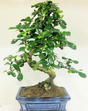 Zelkova S gövdeli Minyatür ağaç Bonzai  Aydın çiçek gönderme