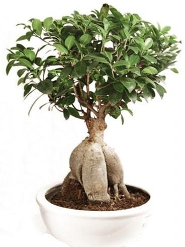 Ginseng bonsai japon ağacı ficus ginseng  Aydın İnternetten çiçek siparişi
