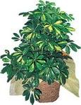 Aydın internetten çiçek siparişi  Schefflera gold
